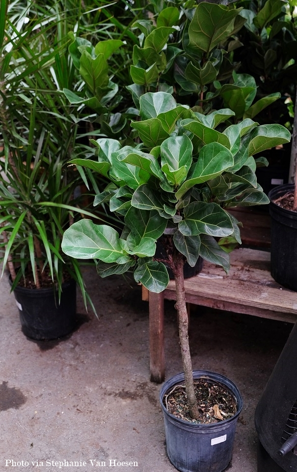 3_Fiddle Leaf Fig_caption