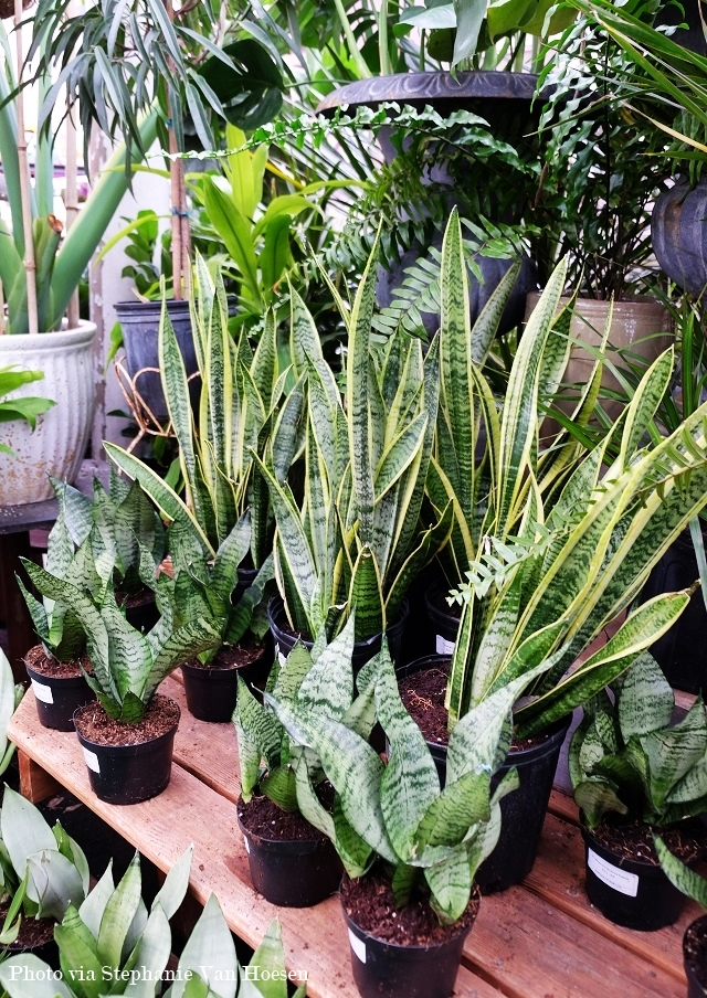 4_Snake Plant_caption